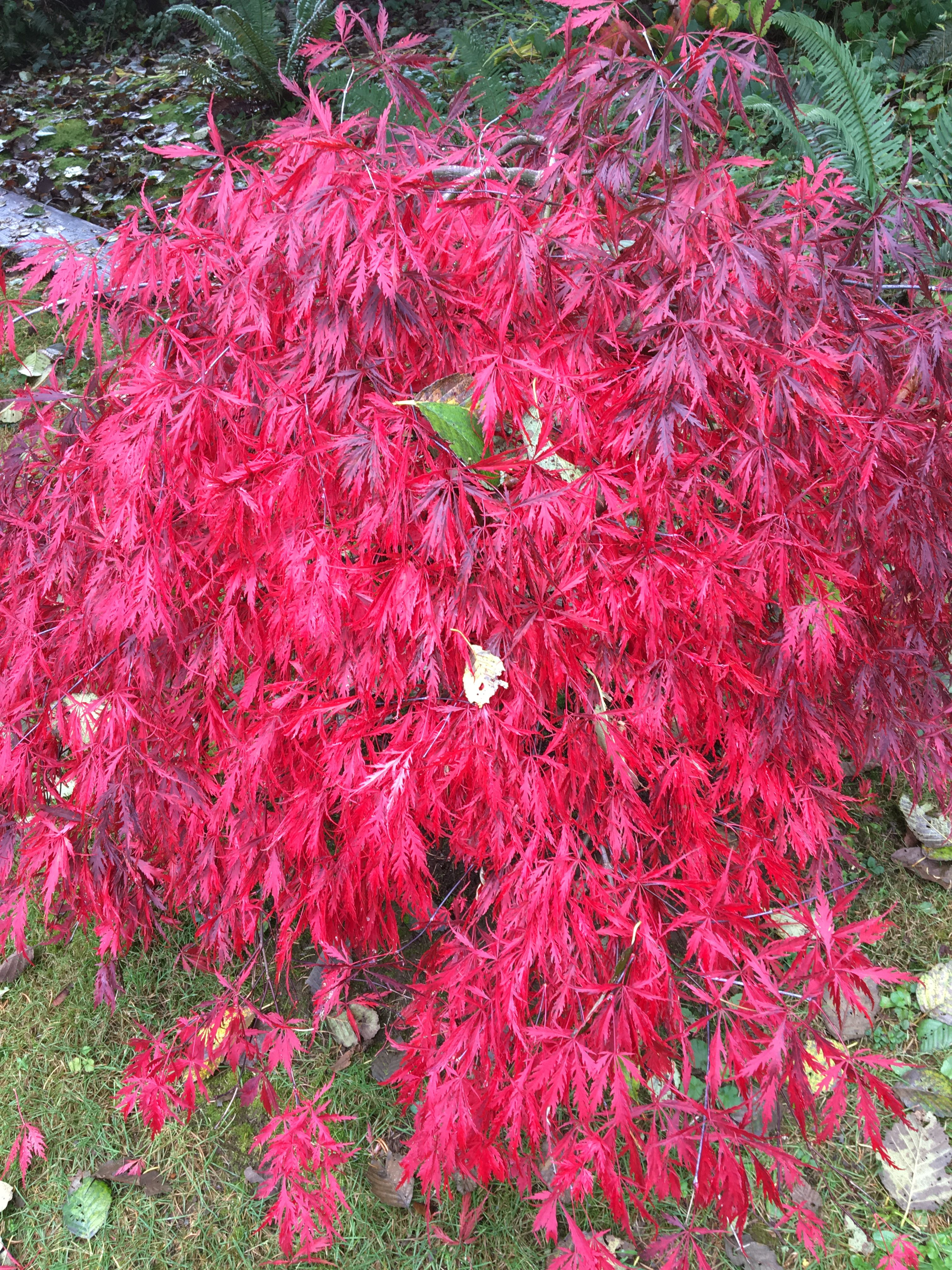 October 2018 Ornamental Japanese Maple My Home And Gardens