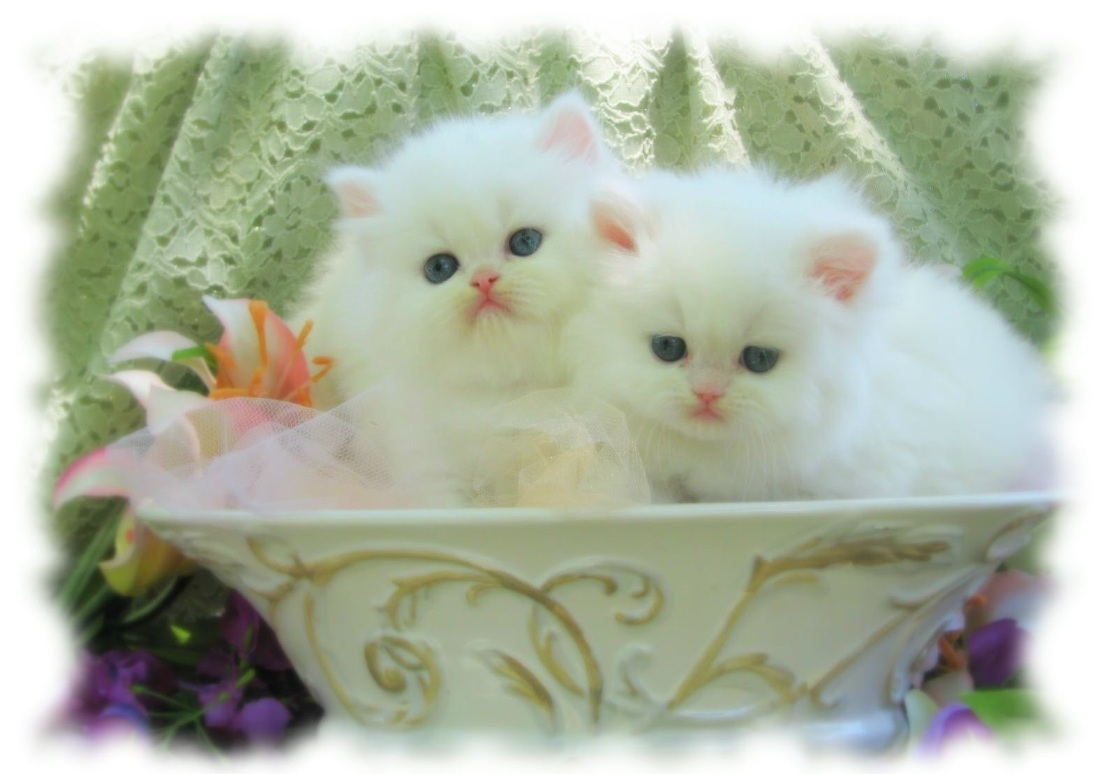 Afunnyimages provides High Definition White Persian Cat