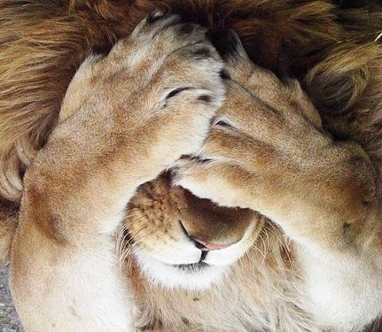 lion paws over face - Google Search