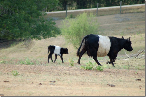 Oreo Cows wearing mother/daugher outfits