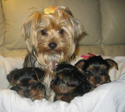 Pin By Gloria Pelletier On Cute Overload For L Yorkie Puppy For Sale Yorkie Puppy Yorkshire Terrier Dog