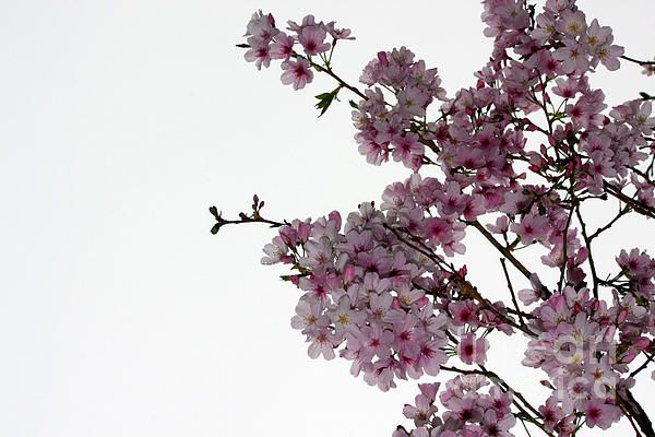 Cherry Blossoms In Bloom At One Tree Hill Auckland New Zealand Cherry Blossom Blossom One Tree Hill