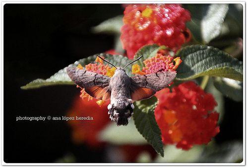 Esfinge colibrí (Macroglossum stellatarum) (2/2) (+1)