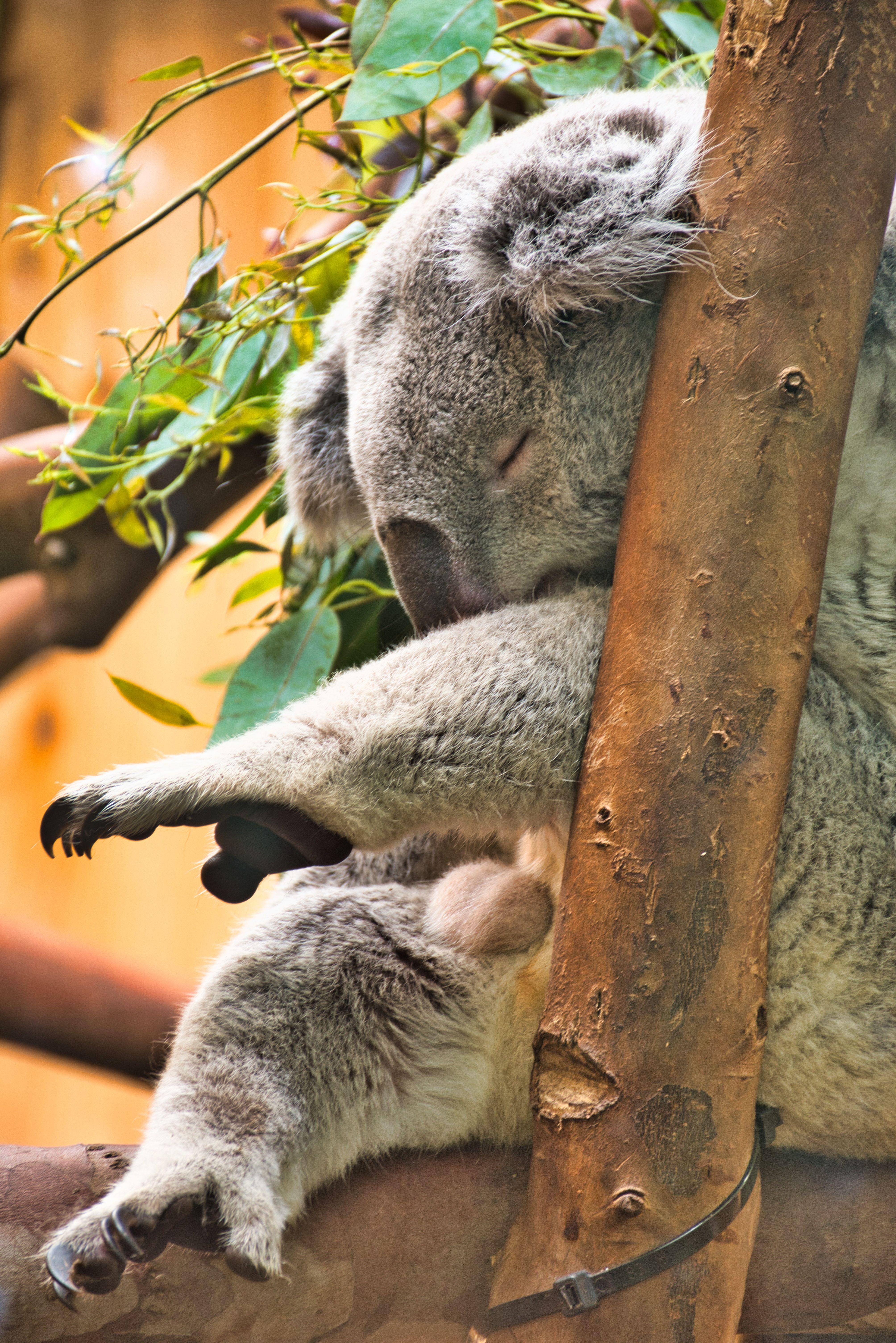 Sleep Time Edinburgh Zoo Zoo Koala Bear