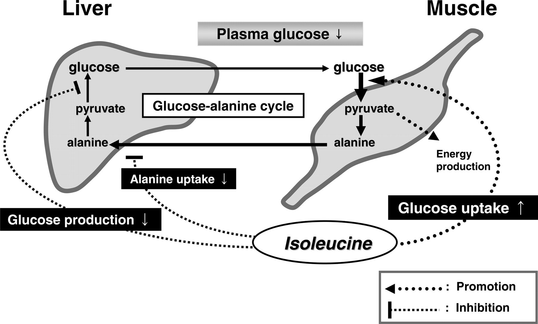 Glucose Metabolism Diagram Hypoglycemic Effect Of