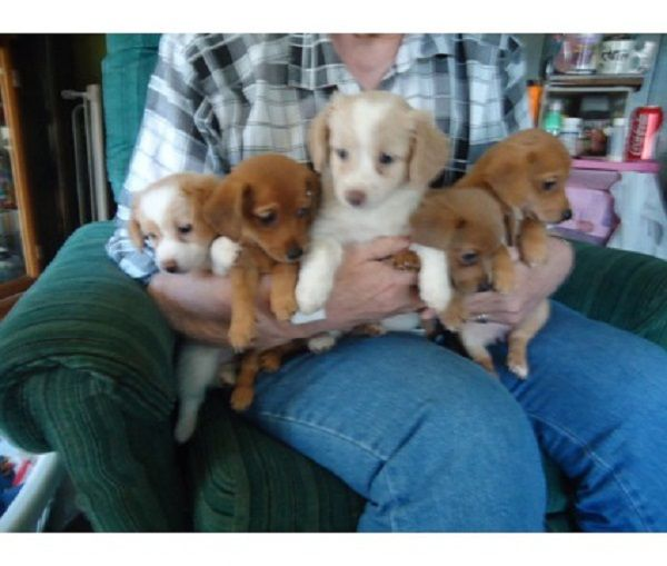 Dachshund Pomeranian Mix Puppies For Sale Zoe Fans Blog