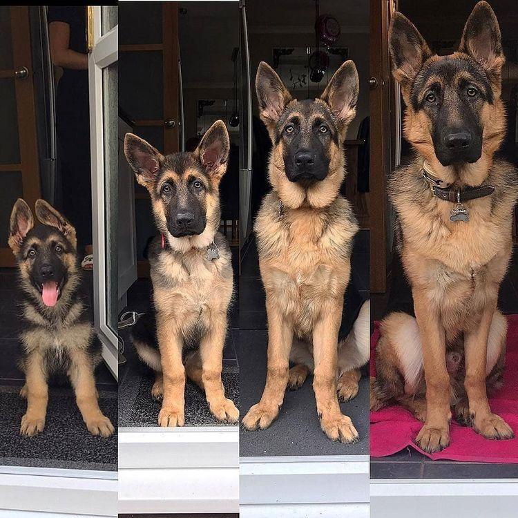 Shepherds Love Itself German Shepherd Dogs German Shepard