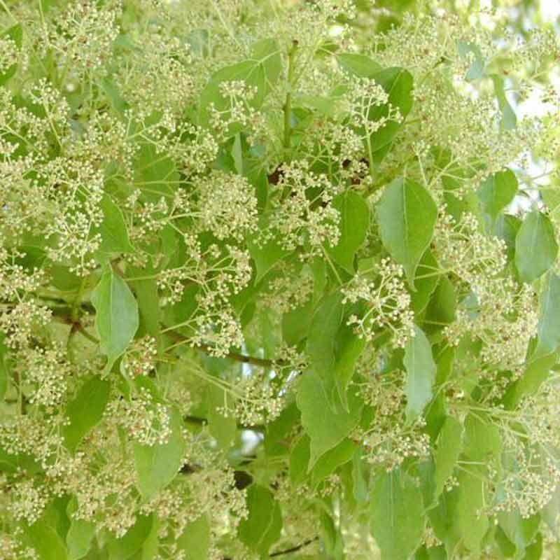Cinnamomum Camphora L J Presl Kanferboom Natural