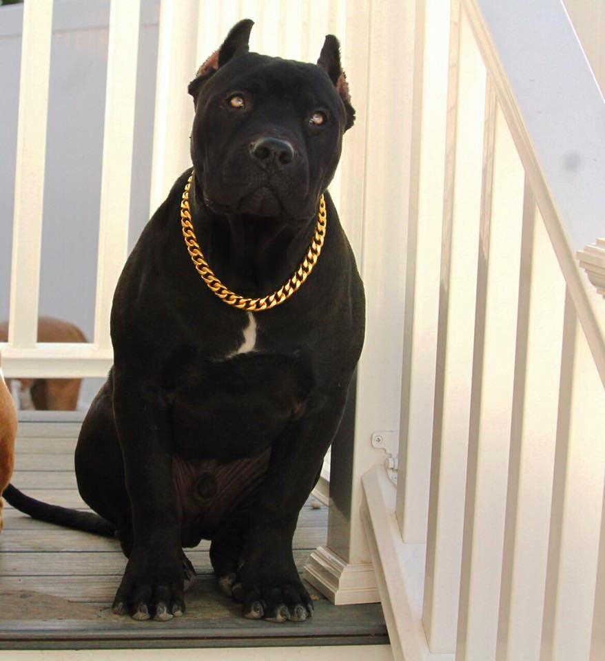 Gold Choke Chain Dog Collar