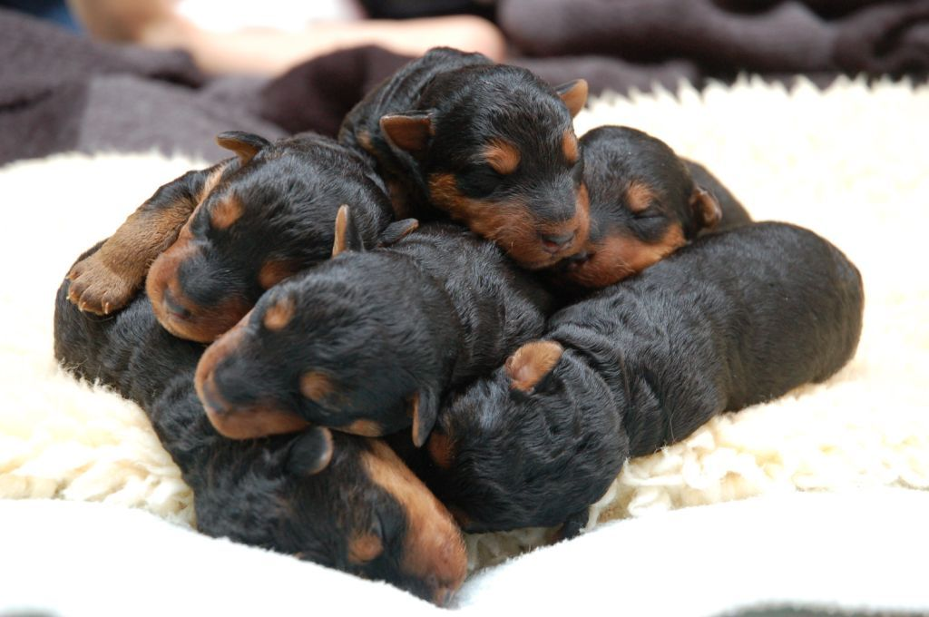 Doberman Pinscher Loyal And Fearless Welsh Terrier Newborn