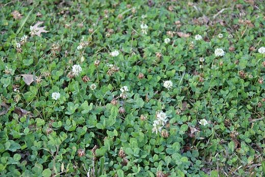 How To Get Rid Of Clover Greenseasons How To Get Rid Lawn Plants