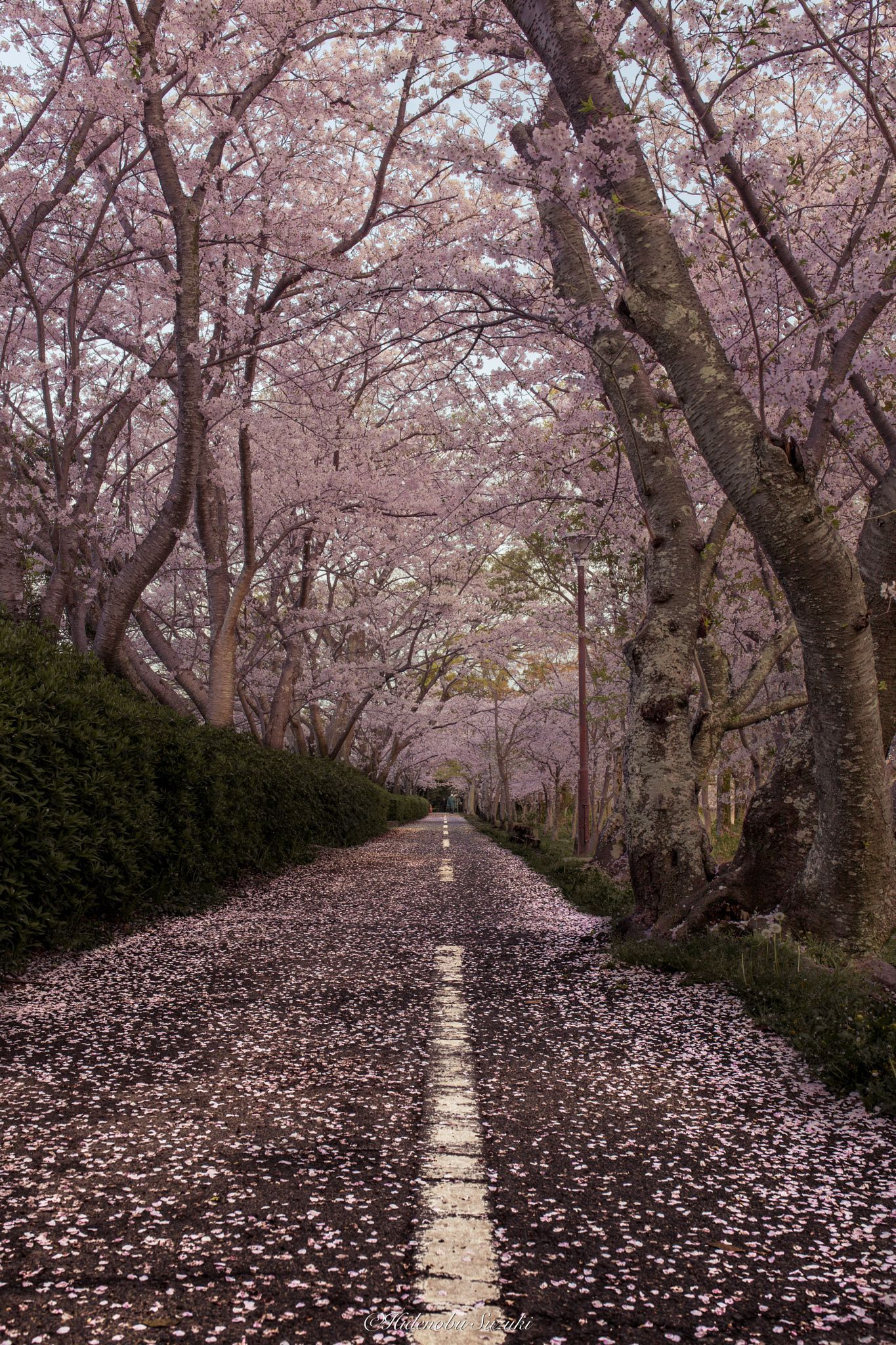 Sakura Road Japanese Scenery Of The Morning Of Spring Season Of Cherry Blossoms In Full Bloom You Wil Amazing Nature Photography Spring Scenery Flower Road