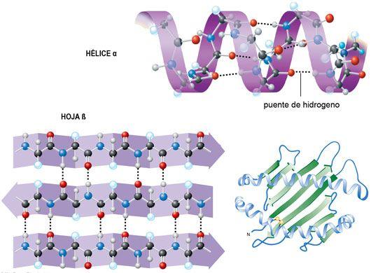 Estructura Secundaria De Las Proteinas Buscar Con Google