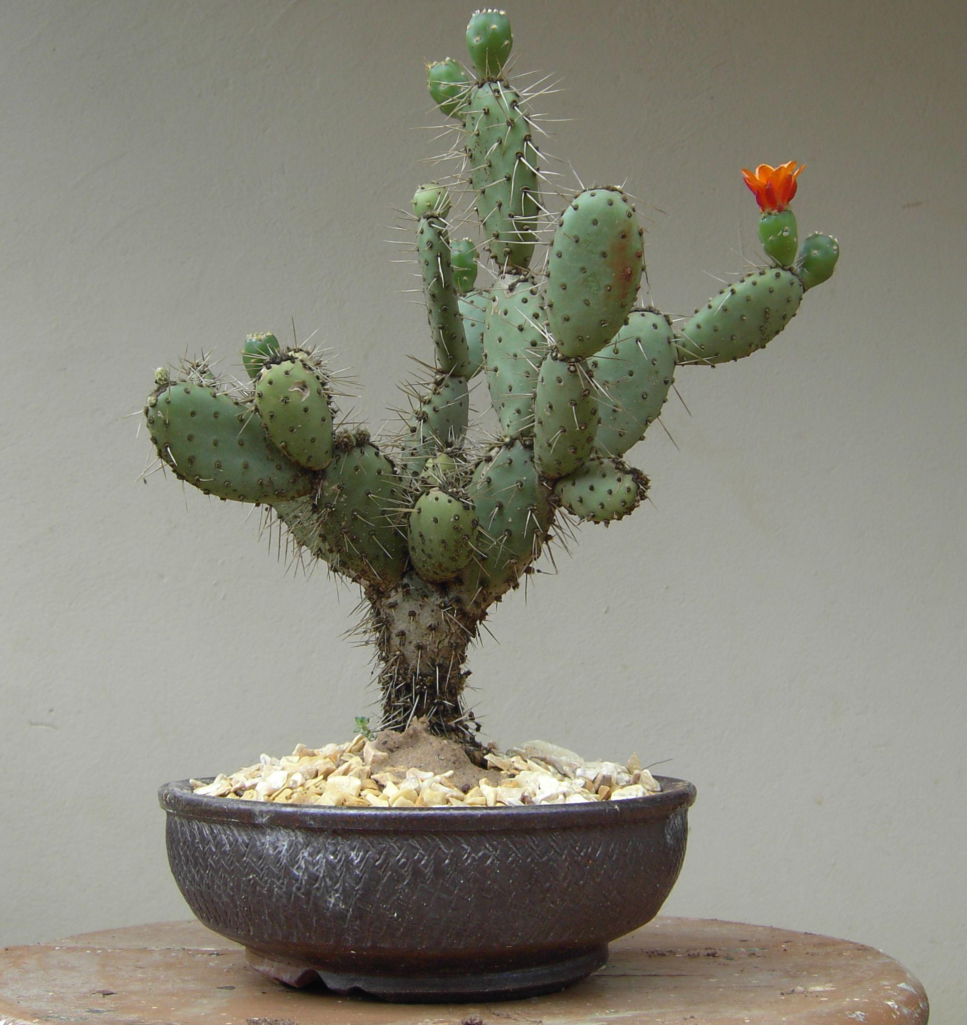 Cactum Bonsai creative beauty Cactus Pinterest