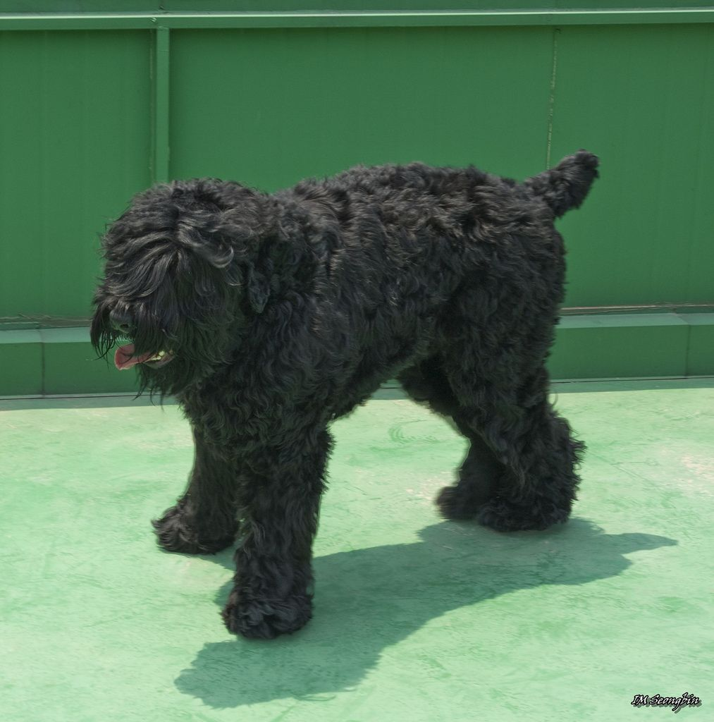 Small Of Russian Guard Dog