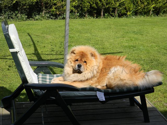 10 Month Old Chow Chow Bear For Pet Care Details Visite Www