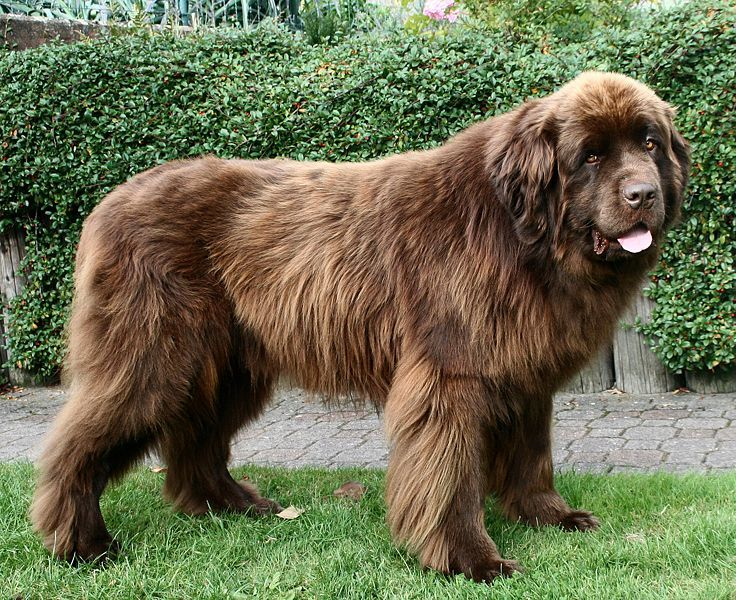 Whether They Are A Relative Of The Labrador Or Viking Bear Dogs Newfoundland Dog Found Their Niche Off Coast Canada