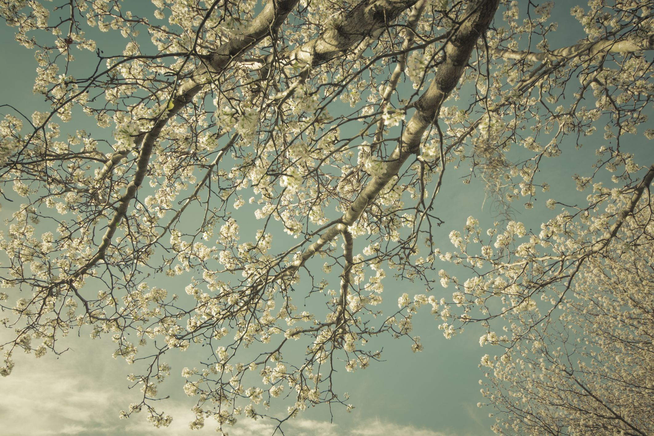 The Curse Of The Bradford Pear Wusa9 Gardening Pinterest