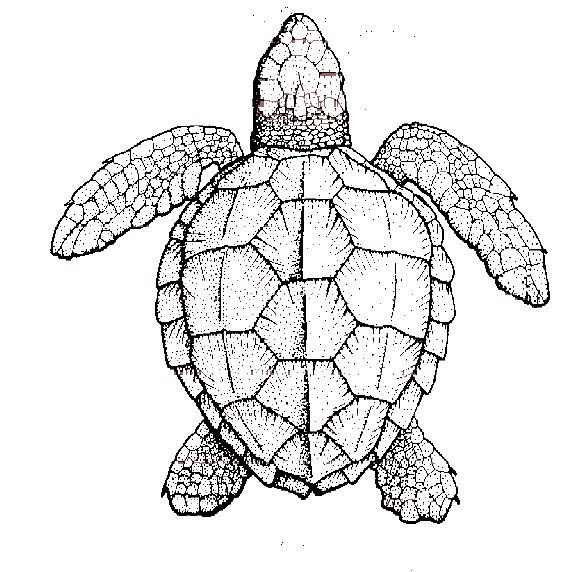 Symmetry Of Sea Turtle Shell Turtle Coloring Pages Turtle