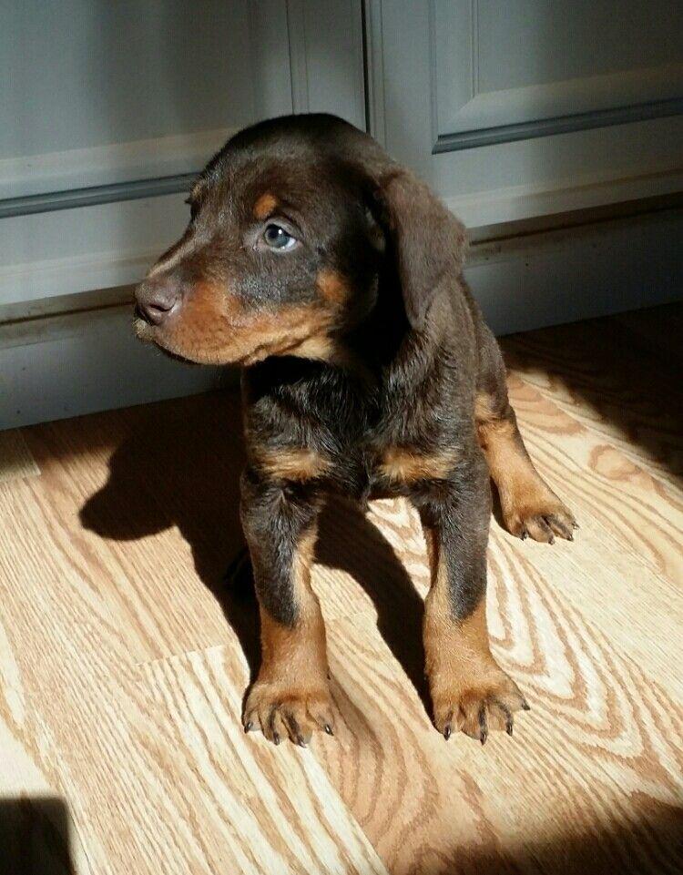 Doberman pinscher, Doberman, Puppy training