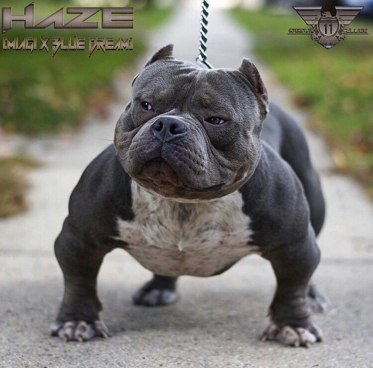 Str8 Bullyin 505 On Instagram From Exoticbullyig Another Pic Of Haze Off Of Interstatebullies Americanbully Bully Breeds Dogs Bully Dog Bully Pitbull