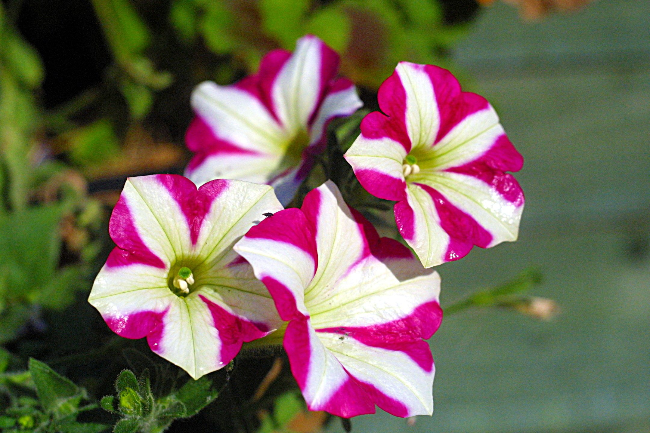Pinterest Flowers: Pink, Petunias And Candy