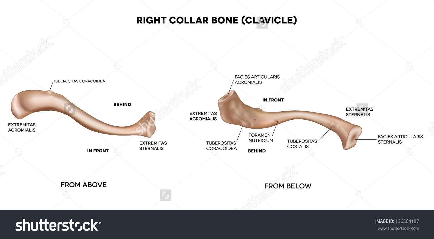 Anatomy Of The Clavicle Bone Clavicle Collar Bone Detailed Medical