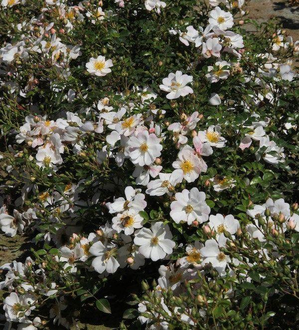 Garten Gestalten Ohne Viel Arbeit ~ 14 Blumen, die den Garten verzaubern ohne Arbeit zu machen Gartenpflanzen Cottage garten
