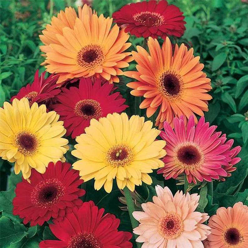 10 True Gerbera California Giants Mix The True Long Stem Etsy In 2020 Gerbera Daisy Flower Seeds Gerbera Daisy Seeds