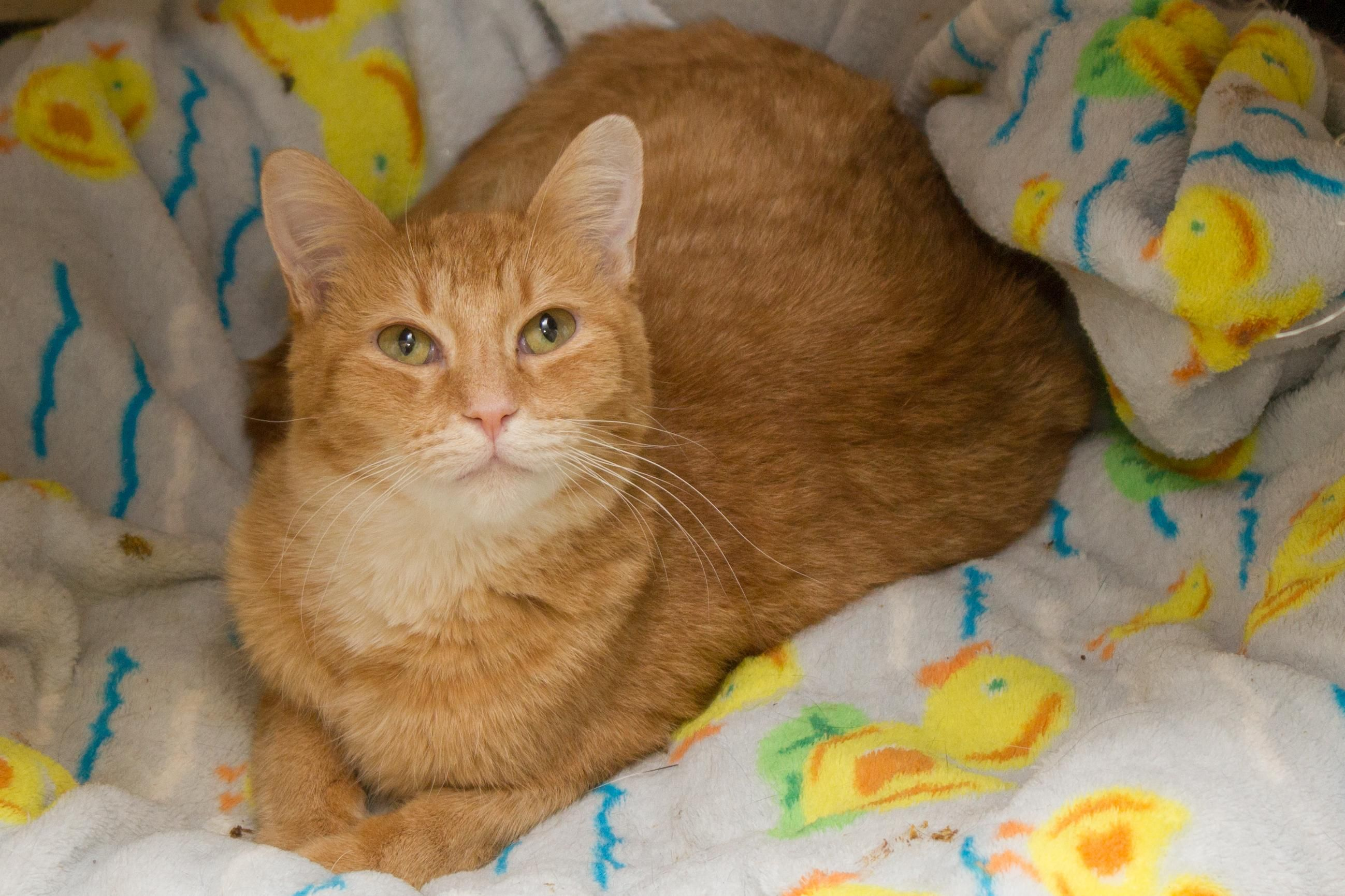 Adopt Tiger on Cat with blue eyes, Cat adoption, Cats