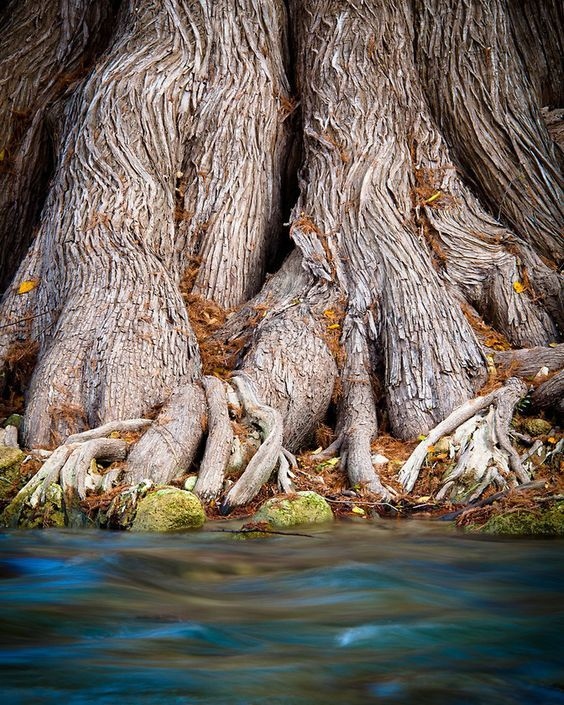 Cypress roots and the Guadalupe River. James Kiehl River Bend Park , Comfort, Texas.
