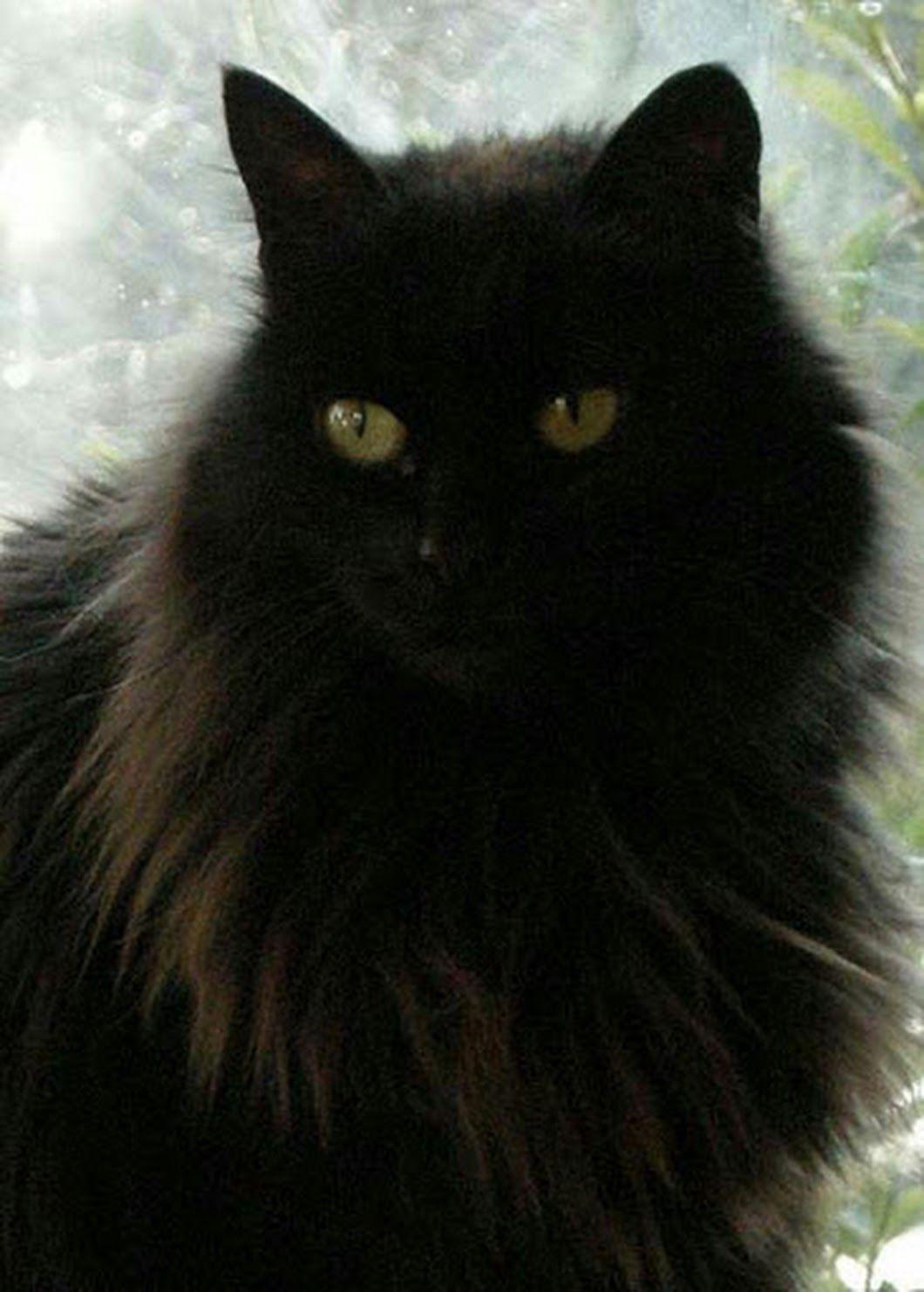 Roland Arenz Google Cats Cats Fluffy Black Cat Beautiful Cats