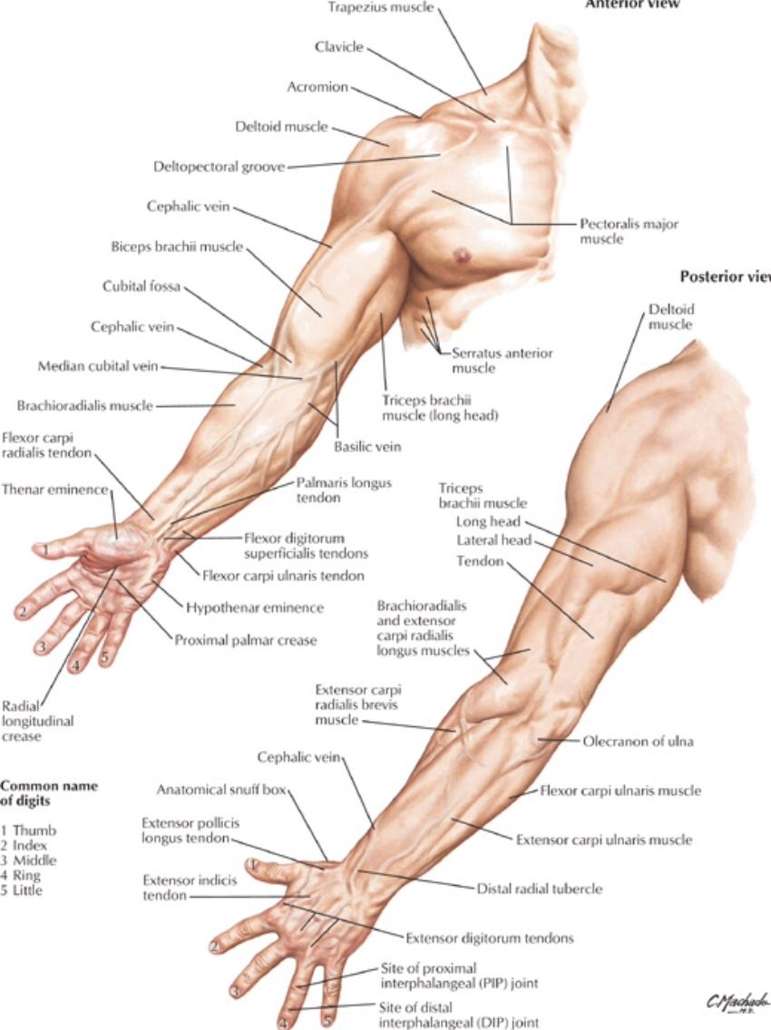 Surface anatomy of the arm - Netter | Surface anatomy | Pinterest ...