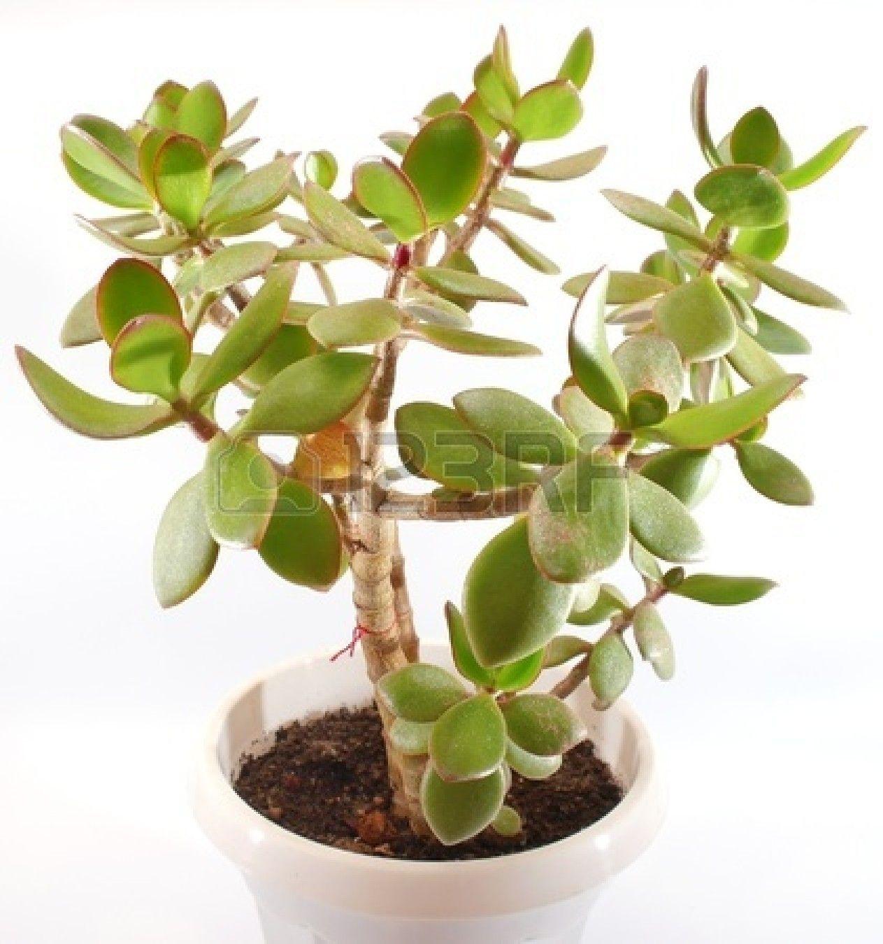 jade plant | Plants, Jade plants, Mural