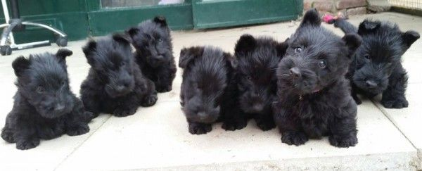 Zomg Scottie Puppies Scottie Puppies Scottish Terrier Puppy