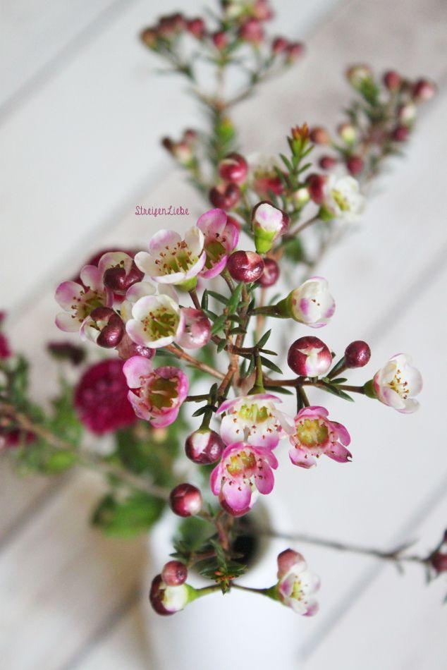Wachsblumen (Hoya) by StreifenLiebe