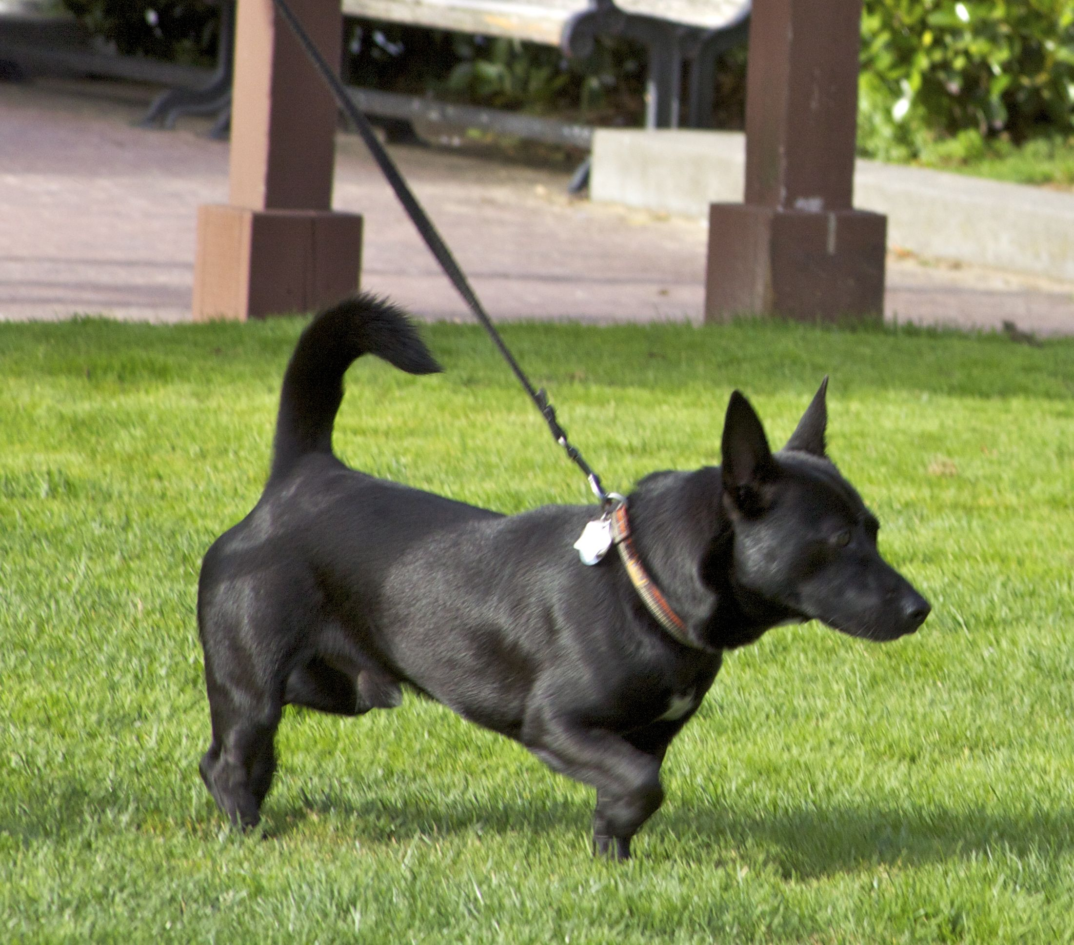 Corgi Black Lab Mix Corgi Mixes Corgi Lab Mix Corgi Mix
