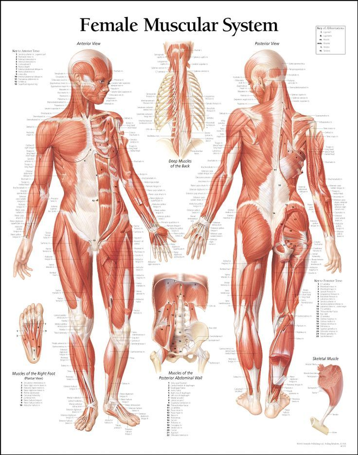 Female Body Anatomy For Artists Anatomy Reference Images Refer on ...