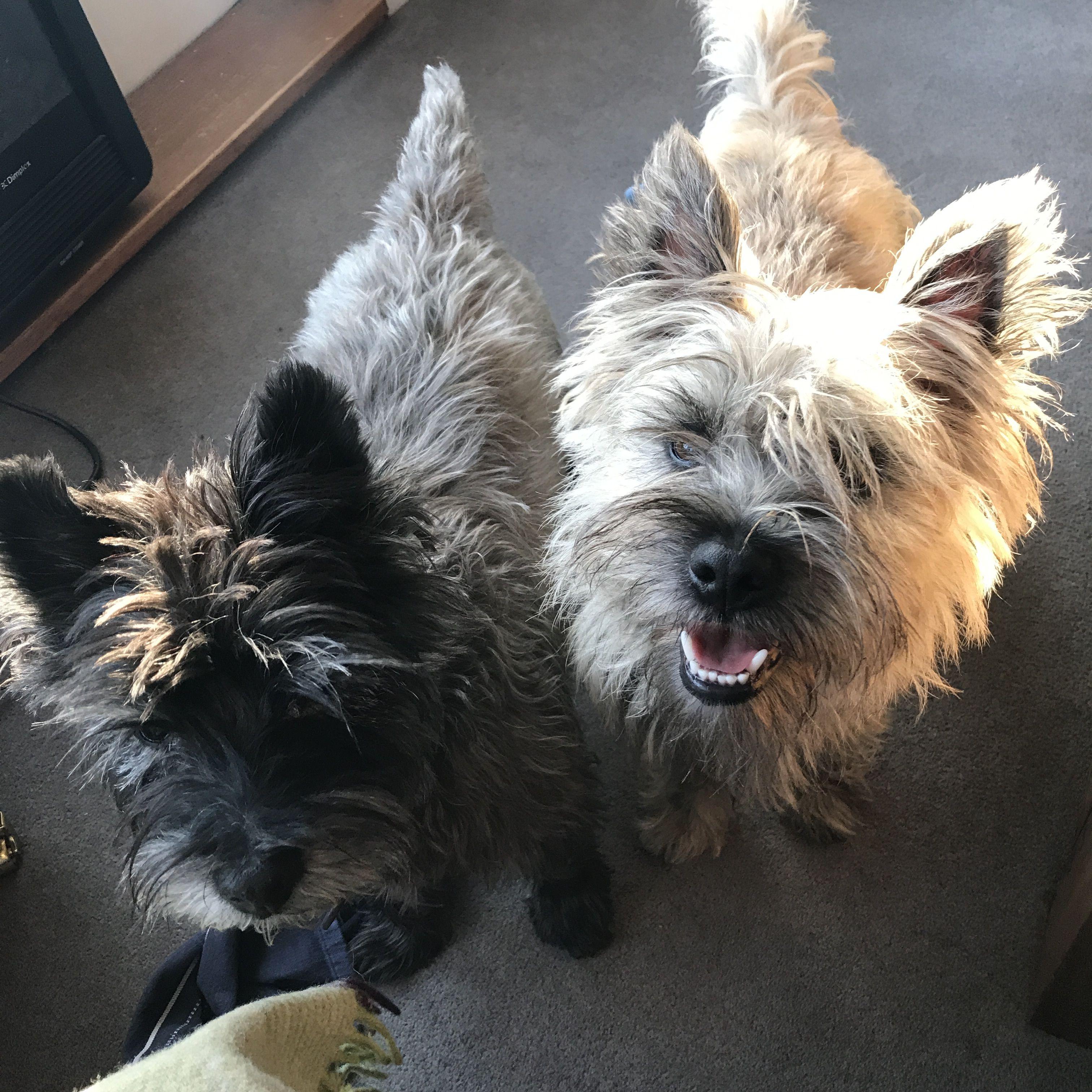 Pin By Terri Dewitt On Carrin Terriers Names Cairn Terrier