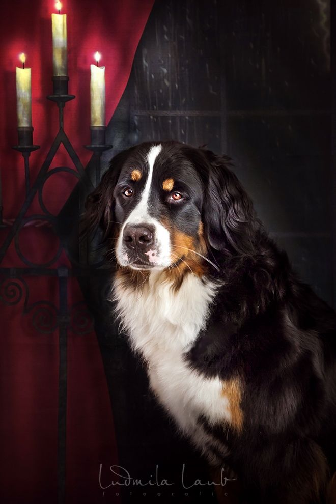 Sunny Von Bayern Alias Der Hund Von Baskerville D Bernasennen Hund Hund Von Baskerville Sennenhund