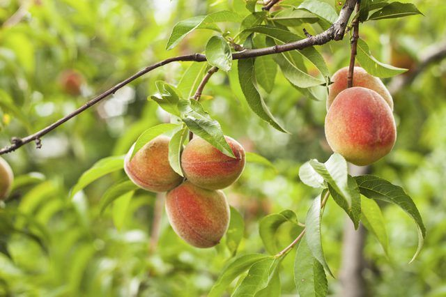 How To Grow Peach Trees In Florida Peach Tree Care Peach Trees Florida Gardening