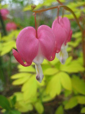 Dicentra Gold Heart Gold Hearts Bleeding Heart From Prides Corner Farms White Flower Farm Bleeding Heart