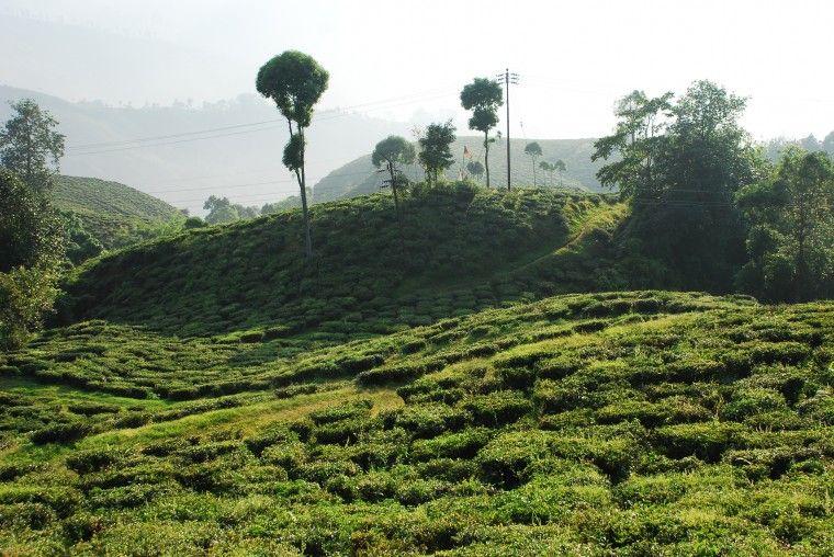 c59bf6da3ac271e2bcbb8f037f4cd885 - List Of Tea Gardens In Darjeeling
