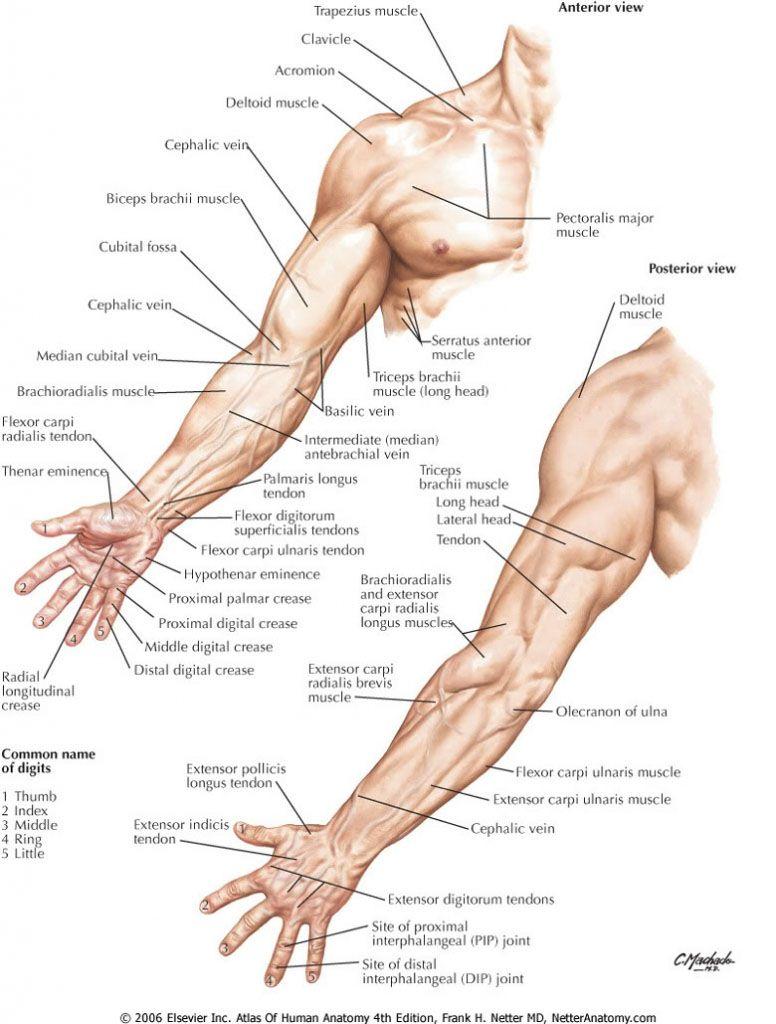 Upper limb anatomy landmark - www.anatomynote.com | Anatomy note ...