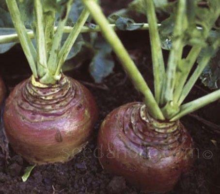 Swede Best Of All Seeds Sutton Seeds Rutabaga Vegetable Garden Tips