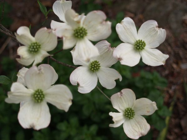 The Native Dogwood Cornus Florida Is A Superb Small Tree With