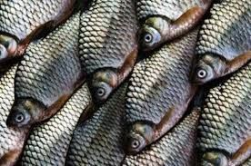 Download 54+ Gambar Ikan Tawes Air Tawar Terpopuler