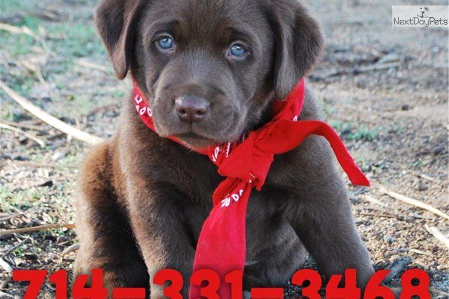 Hershey Labrador Retriever Puppy For Sale Near Orange County