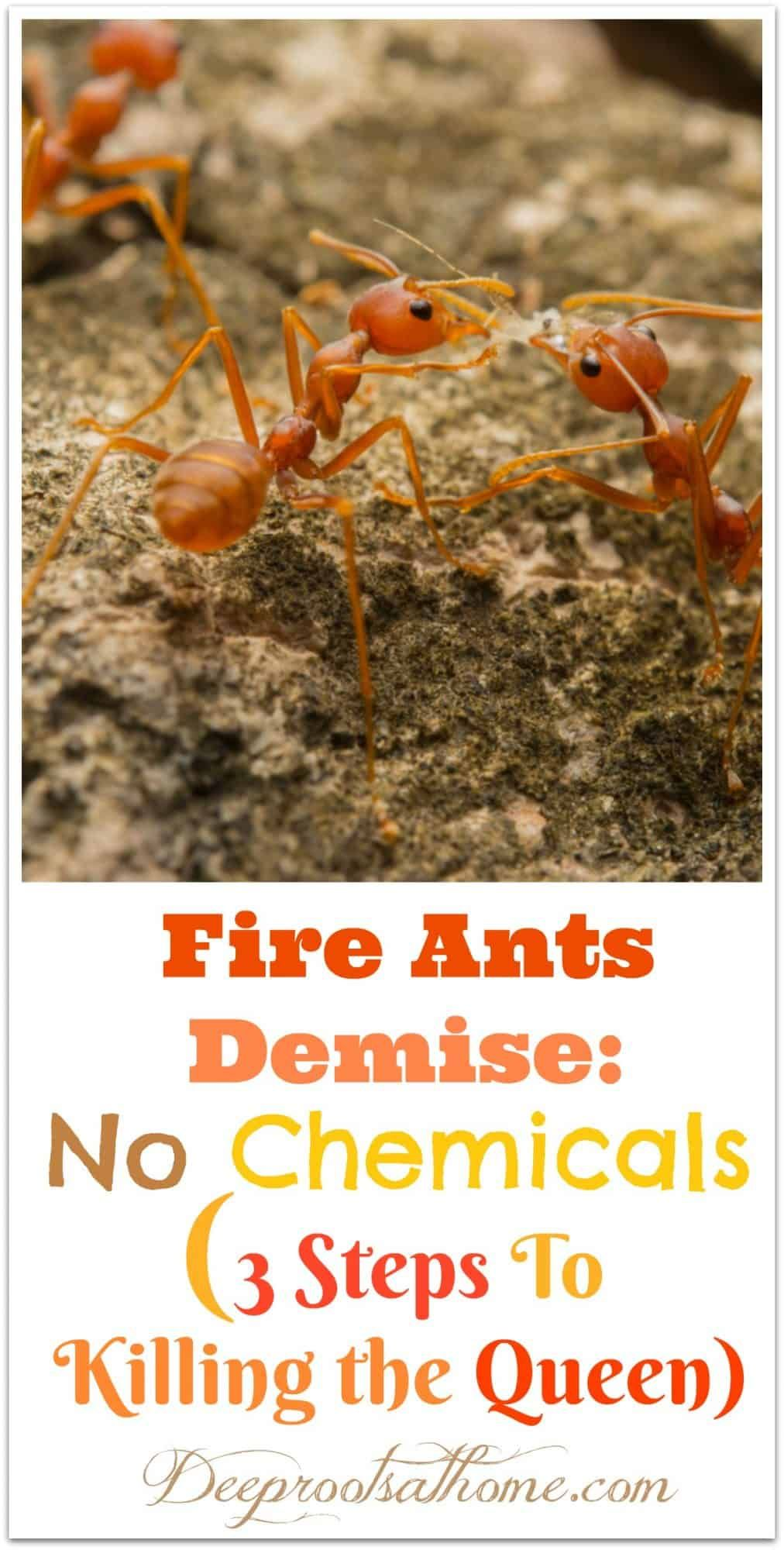 Fire Ants Kill the Queen If You Do These 3 Steps Fire