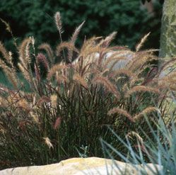 Eaton Canyon Dwarf Fountain Grass Spring Flower 2 3 Ft Tall